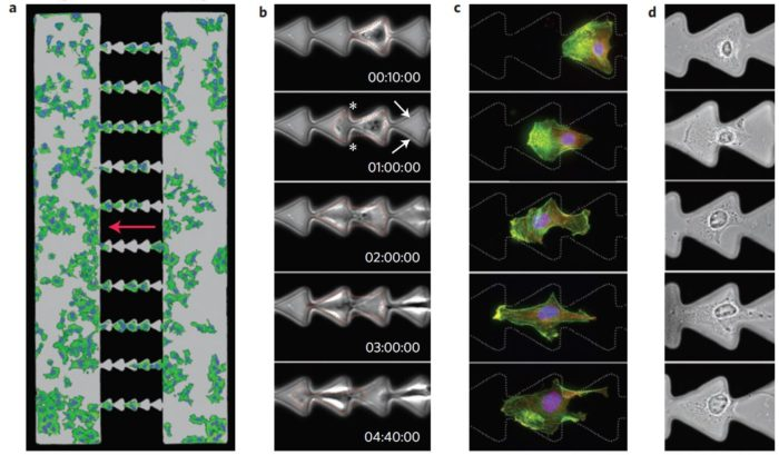 cell migration micropatterns
