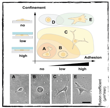 Cell migration phenotype behaviour is affected by degree of confinement height and adhesion
