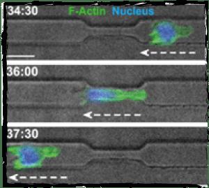 Cell nucleus deformation