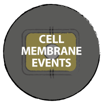 Cell membrane events