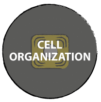 Cell organization & phenotype