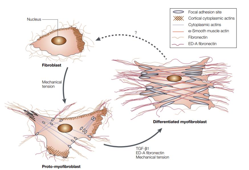Model of fibroblast differentiation into myofibroblast