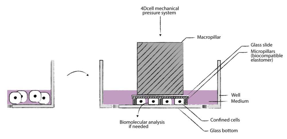 Cell confinement principle